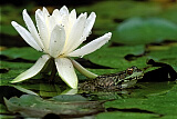 Water Lily and Green Frog