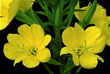 Common Evening-Primrose