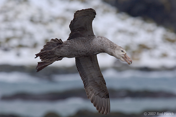Northern Giant Petrel, (Macronectes halli), In Flight, Gold Harbour, South Georgia Island