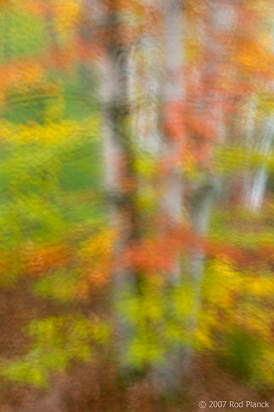 Birch Trees; Autumn; Alger County; Michigan; Forest; Multiple