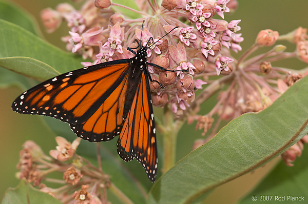 Monarch Butterfly, (Danaus plexippus), Summer, Michigan