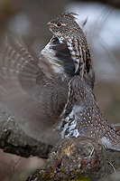 Ruffed Grouse, (Bonasa umbellus), Spring, Northern Michigan