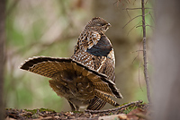 Ruffed Grouse, Male, Displaying (Bonasa umbellus), Spring, Northern Michigan