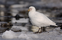 Pale-faced Sheathbill, (Chionis alba), Gold Harbour, South Georgia Island