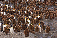 King Penguin Colony, (Aptenodytes patagonicus), St Andrews Bay, South Georgia Island