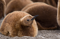 King Penguin, Chick (Aptenodytes patagonicus), St Andrews Bay, South Georgia Island