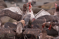 Giant Petrels Fighting Over Carcass, Southern Elephant Seal, Pup, St Andrews Bay, South Georgia Island