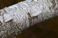 Birch Log Over Stream, Pictured Rocks National Lakeshore, Upper Peninsula, Michigan