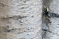 Paper Birch Tree, (Betula alba papyrifera), Autumn, Michigan