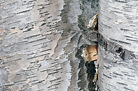 Paper Birch Tree, Curl Detail, (Betula alba papyrifera), Autumn, Michigan