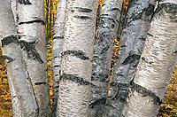 Paper Birch Trees, (Betula alba papyrifera), Autumn, Michigan