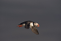 Atlantic Puffin, In Flight, (Fratercula arctica), Ingolfshofdi Nature Reserve, Iceland