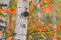 Birch Trees, Autumn, Alger County, Michigan, Forest