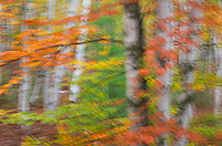 Forest, Birch Trees; Autumn; Alger County; Michigan; Forest