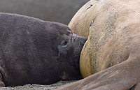 Southern Elephant Seal, Pup Nursing, (Mirounga leonina), Gold Harbour, South Georgia Island