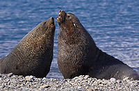 Antarctic Fur Seals, Fighting (Arctocephalus gazella), Fortuna Bay, South Georgia Island