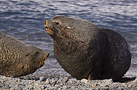 Antarctic Fur Seals, Males Fighting, (Arctocephalus gazella), Fortuna Bay, South Georgia Island