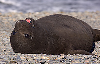 Southern Elephant Seal, Pup, (Mirounga leonina), Fortuna Bay, South Georgia Island