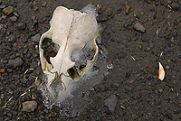 Antarctic Fur Seal Skull, (Arctocephalus gazella), Right Whale Bay, South Georgia Island