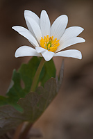 Bloodroot, Spring; Upper Peninsula; Michigan