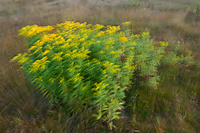 Goldenrod, Summer, Michigan, Blurred