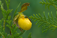 Yellow Lady's-slipper Orchid, (Cypripedium calceolus), Summer, Michigan