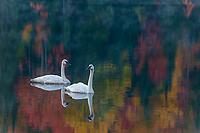 Trumpeter Swans, Ottawa National Forest, Ultimate Autumn Forest and Lake Superior Shoreline, MI