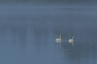 Trumpeter Swans, Foggy Bogs and Dewy Insects Workshop, Michigan