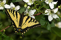 Canadian Tiger Swallowtail, (Papilio canadensis), Adult, Summer, Michigan
