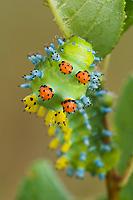 Cecropia Moth (Hyalopora cecropia), Caterpillar, Spring, Michigan Photographed where found