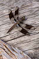 Common Whitetail Skimmer Dragonfly, (Plathemis lydia) Juvenile Male, Summer, Michigan