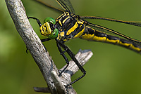 Dragonhunter Dragonfly, (Hagenius brevistylus), Summer, Northern Michigan