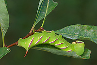Sphinx Moth Caterpillar, (Sphingidae), Summer, Michigan