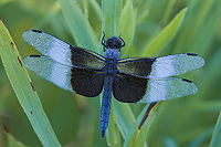 Widow Skimmer Dragonfly, (Libellula luctuosa), Summer, Michigan