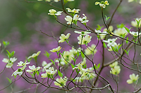 Dogwood and Redbud in Peak Bloom~ Tellico River